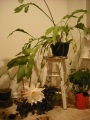 Monster Plant – Night-blooming Cereus by Dawn MarieHamilton