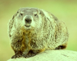 groundhog1a-copy