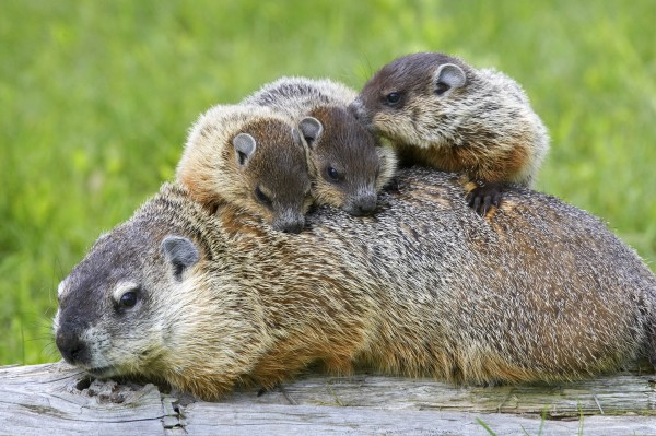 groundhog family