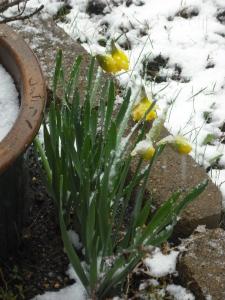 Snowy daffidils