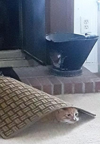 cat under rug