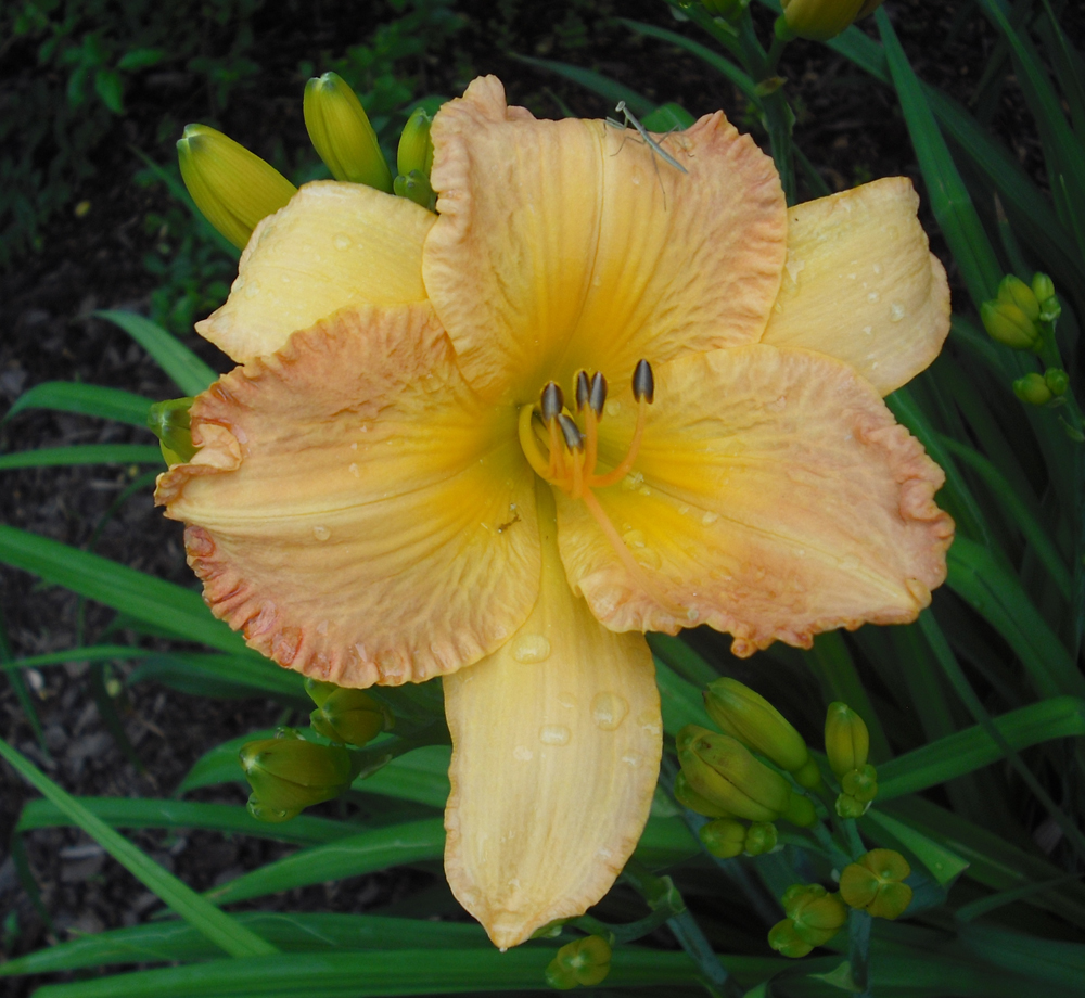 Peach Daylily with Mantis